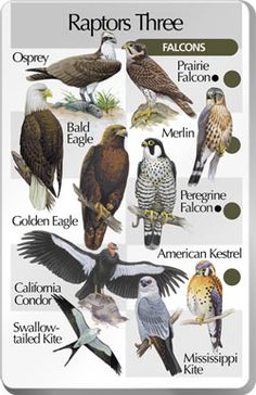 Educate people about the beauty and importance of raptors.  They look fierce but are still delicate - still birds.  And tragically at the mercy of humans.    Free download Falcon Eagle