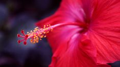 Nature offers us a wide array of medicinal plants. Hibiscus is one of them; it has numerous Ayurvedic and medicinal benefits in it.