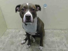 URGENT - Brooklyn Center  SPLIFFEY - A0996277  FEMALE, CHOCOLATE / WHITE, PIT BULL MIX, 2 yrs OWNER SUR - ONHOLDHERE, HOLD FOR RTO Reason MOVE2PRIVA  Intake condition NONE Intake Date 04/10/2014, From NY 11233, DueOut Date 04/10/2014,  https://www.facebook.com/Urgentdeathrowdogs/photos_stream