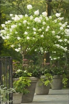 Up a Tree - 29 Ways to Grow Hydrangeas in Containers - Southernliving. This panicle hydrangea, Hydrangea paniculata 'Limelight', makes for a stunning container when planted in its single-stem, tree-shrub form. See the Pin