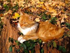 Fall is our favorite time of year and these cats agree! Photo Chat, Memorial Tattoos, Pet Memorials, Belle Photo, Kittens, Kitty Cats, Autumn Leaves, Corgi, Creatures