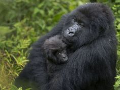 Thousands of people gathered in a town outside the Volcanoes National Park in Rwanda to name 24 young gorillas in a naming ceremony.