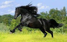 Friesian Stallion | We Heart It
