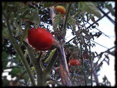 Tomates ecológicos, del huerto de Tito, ricos, y sabrosos... jardineria