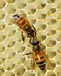 La Familia de la Apicultura - The Beekeeping of Family: La Trofalaxia - The Trofalaxia