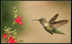 Humming bird, birds, gardening hummingbirds