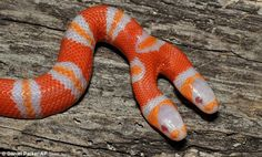Double-header: This albino milk snake was hatched at a wildlife centre in Florida, much to the staff's surprise