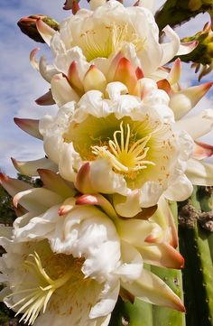 Triptych Cactus Flowers | Flickr - Photo Sharing!