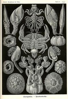 Ernst Haeckel Crustaceans and Barnacles Poster - Scientific Illustration - Art Nouveau Print - Haeckel Print - Wall Hanging - Giclee Art Illustration, Scientific Illustration, Natural Form Art, Art Forms, Crab Art, Stock Art, Art Ink, Art, Graphic Art Print