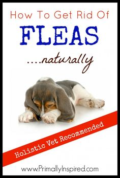 Natural Flea Control Part 2: How To Get Rid of Fleas Naturally from Primally Inspired - I got rid of a major flea infestation without the use of toxic chemicals!