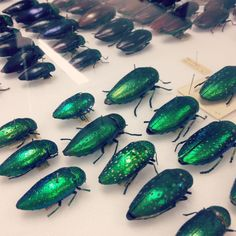 This is a view inside one of the specimen drawers in #entomology. #EdsciFest #museumtour #Edinburgh #Scotland #museums #edscifest