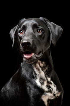 Black Dog - Headshot of mixed breed Dalmation, Black Labrador
