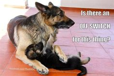 German Shepherd asking if they is an off switch for annoying puppy. Cute for dog lovers.