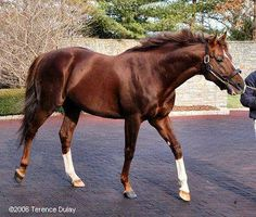 Giant's Causeway, a Kentucky bred Thoroughbred racehorse. He is the sire to many successful offspring, including First Samurai and Maids Causeway.