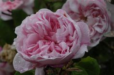 Rose : Archiduchesse Elizabeth d'Autriche 1881