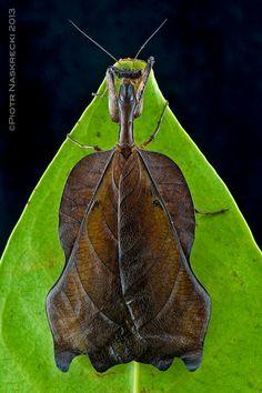 Deadleaf mantis