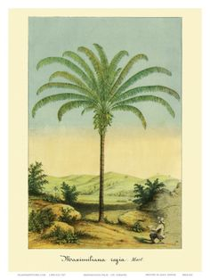 Google Image Result for http://imgc.artprintimages.com/images/art-print/ch-lemaire-maximiliana-palm-tree-botanical-illustration-c-1854_i-G-37-3711-DJYAF00Z.jpg