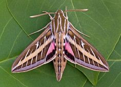 White-lined sphinx moth: This large species found from Canada down through Central America can be spotted from April through October as it flits, hummingbird-like, from flower to flower as it feeds.