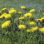 Foraging for Dandelions