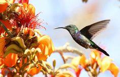 Hummingbird on Erythrina velutina | Flickr - Photo Sharing!