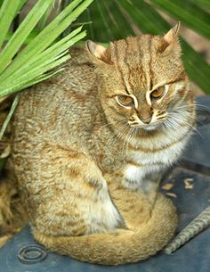 A wild Rusty spotted cat only found in India and Sri Lanka. They are half the size of a small domestic cat.