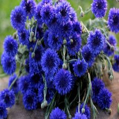200 Bachelor Button Blue Cornflower Flower by UnderTheSunSeeds