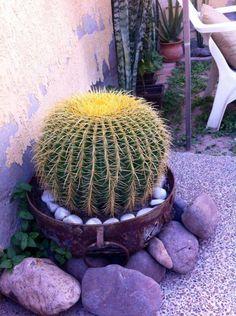 Ecchinocactus Grussoni.