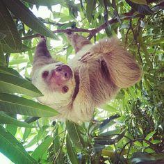 Sloth. Panama.