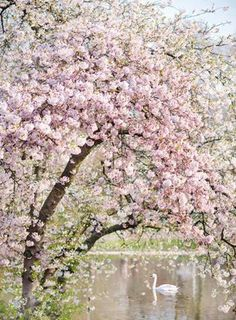 Lovely Clusters - Online Curator : London Photography - Spring in St James Park, Pink Blossom Tree Art Print Pink Blossom Tree, Spring Blossom, Cherry Blossoms, London Photography, Art Photography, Photography Flowers, Floating Flowers, All Nature, Spring Nature