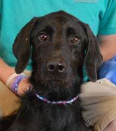 Max-A-Mum is a sensitive, shy young boy who cannot understand how he became homeless when his previous owners broke up their romantic relationship.  He is a good-looking Labradoodle (Labrador Retriever & Standard Poodle mix), 1 year of age, neutered boy, debuting for adoption today at Nevada SPCA (www.nevadaspca.org).  Max-A-Mum is good with dogs and reportedly fine with cats, as well as housetrained and crate-trained.  A gentle and very stable home is ideal for him.