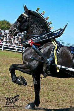 Black Percheron in harness