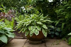 Pot/container for shade planted with hosta. Photo by Marsha Arnold. Planters For Shade, Shade Plants Container, Container Gardening Vegetables, Flower Containers, Hosta Plants, Garden Plants, Back Gardens, Small Gardens, Gardening Zones