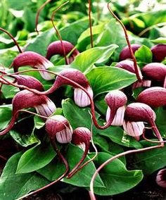 arisarum proboscideum, mouse plant, would be perfect in my hobbit garden, with the lamb's ears, fox gloves and bunny tail grass