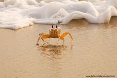 Genus Ocypode, these are called Ghost crabs of their ability to disappear from sight almost instantly. Description from delsonclicks3.blogspot.com. I searched for this on bing.com/images