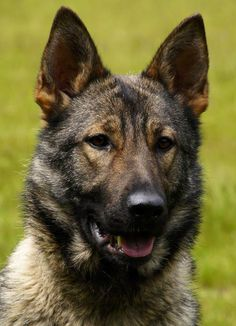 Leska Female German Shepherd trained Family Protection Dog. Scott's Police K9.