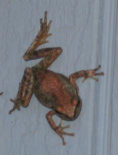 Pacific chorus frog, my backyard