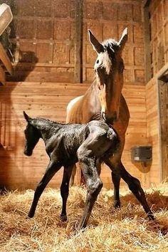 Newborn foal stands on wobbly legs.