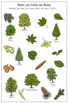 Zur Zeit bietet sich das Thema Wald sehr gut an. Ich habe zwei Arbeitsblätter z… At the moment the topic of forest is very good. I have two worksheets to map and connect the trees with their leaves and fr … Preschool Garden, Science Student, Preschool Curriculum, Preschool Worksheets, Forest School, I School, Science And Nature, Elementary Schools, Perennials