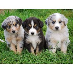 With all of his talents and his heart set on the job, it would be a shame not to put the Miniature American Shepherd to work, whether in dog sports or herding or just a really good game of catch. The breed was given full recognition by AKC earlier this year.