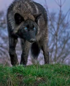 The Demon's Daughter Wolf Photos, Wolf Pictures, Animal Pictures, Animals Photos, Beautiful Creatures, Animals Beautiful, Wolf With Blue Eyes, Tier Wolf, Regard Animal