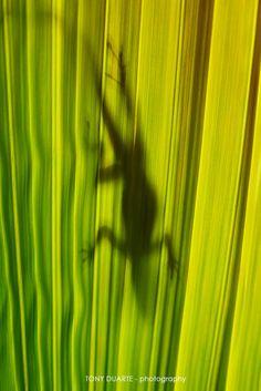 Lézard - Anolis à travers une feuille de multipliant - St-Barth - FWI - © Tony Duarte