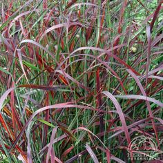 Another view of Panicum virgatum Ruby Ribbons, aka red switch grass. Bought one to replace prickly barberry off deck.