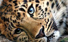 #Leopard #Tiger #Jaguar #Cheetah Snow leopard, Wildcat, Felidae, Cat - Follow @thegeniusboss for more pics like this!