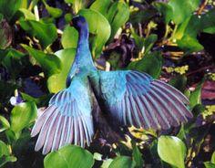 Gallinule shows wings