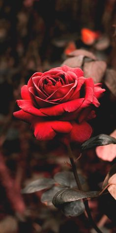 Red rose #wallpaper #iphone #android #background #followme