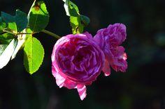 Louise Odlier  ruusu lokakuussa