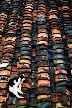 Cat on a hot clay roof