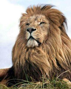 Orgulho de ser Leão
