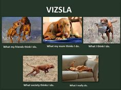 Vizsla so true! Ava sleeps more than our cats!
