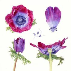 carolynjenkins_folio_illustration_agency_watercolour_botanical_horticultural_realism_anemone_l.jpg (600×600)